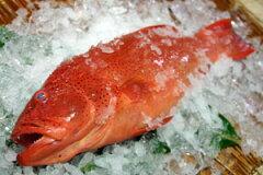 お刺身でお召し上がりください。アカジンミーバイ(スジアラ)1.5~2kg05P13Dec14