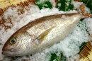 マーマチ(オオヒメ)1.5〜2kg10P02Dec09