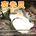 夜光貝(1.2kg〜1.5kg) ※殻付き