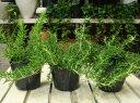 【ハーブ】良い匂いでリラックス♪這性ローズマリー 3株お買い得セット販売 大きく育てて自分...