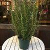 立ち性ローズマリー5号鉢植え大きく育てて自分流のガーデニングに仕上げて下さい♪植え替え・寄せかご・寄せ植えなどに♪