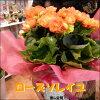 エラチオールベゴニア(リーガスベゴニア)ローズソレイユ♪オレンジの花で、まるで太陽に輝くような花色が印象的♪5号鉢植え籐カゴ入り&ラッピング&リボン付きフラワーギフト人気品種数量限定ポイント中花お届け指定可能送料無料ギフト特集