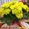 エラチオールベゴニア(リーガスベゴニア)コスモノア♪黄色の花でとても豪華なイメージです♪籐カゴ(バスケット入り)付きのお得セット価格【楽ギフ_包装】【楽ギフ_メッセ入力】【送料無料】【母の日ご予約鉢花/プレゼント/フラワーギフト】
