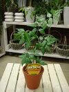 ミラクルニームの木の陶器鉢♪【プラスチック鉢では味わえない清潔オシャレ仕上げ】