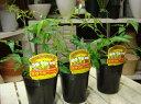 約200種類以上の害虫に効果があると言われる 天然植物農薬♪ミラクルニームの木♪3ポットセッ...