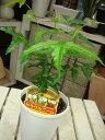 【節電対策】ミラクルニームの木♪4号鉢植え 自分流のガーデニ...