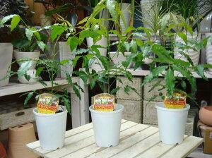 2015年度版【節電対策】ミラクルニームの木♪4号鉢 お得な3鉢セット販売【害虫対策・防虫効果・虫よけ】