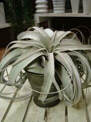銀色の葉をした豪快な存在感♪ワシントン条約対象品種♪自分流に♪ブライダルにも人気♪エアー...