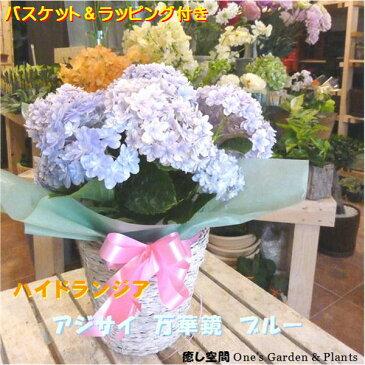 お花を見るとキラキラ輝く万華鏡のようにきらびやかな紫陽花ありがとうを伝えれる日♪メルヘンの青い世界♪アジサイ 万華鏡(マンゲキョウ)ブルー 5号鉢植え 島根県ブランド紫陽花【母の日ギフト プレゼント 早割 2021年 母の日アジサイ特集 送料無料】