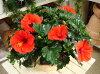 【送料無料】夏の代表♪大株仕上げのハイビスカスレッドスター(赤系)テラコッタ陶器鉢
