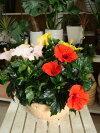 【送料無料】夏の代表♪大株仕上げのハイビスカスアソート(ミックス系)テラコッタ陶器鉢