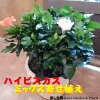 【送料無料】夏の代表♪大株仕上げのハイビスカス人気のアソート(ミックス系)寄せ植え♪今日は何色が咲くかな〜♪花のおみくじを♪テラコッタ陶器鉢ご自身で咲かせて下さい♪L-サイズ
