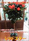 ハイビスカスレッドスタースタンド仕立て8号鉢植え夏の代表♪自分流のガーデニングに仕上げて下さい植え替えに最適です♪送料無料長く楽しめるサマーシーズン♪