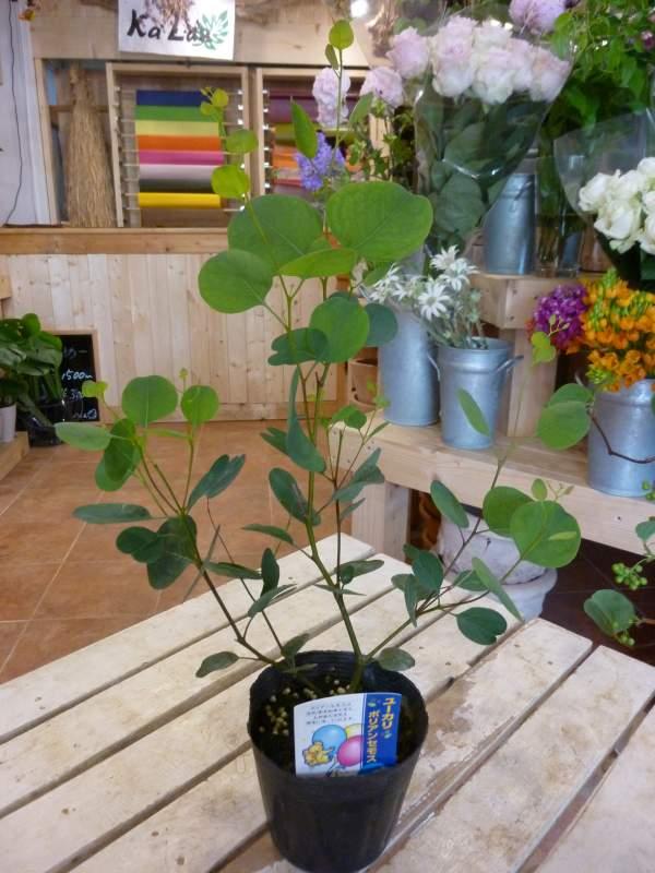 ユーカリ ポリアンセモス(ポポラス) 3.5号苗(ポット) 大きく育てて自分流のガーデニングに仕上げて下さい♪植え替え・寄せかご・寄せ植えなどに♪