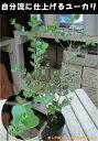 ユーカリ グニー 3号苗(ポット) 大きく育てて自分流のガーデニングに仕上げて下さい♪植え替え・寄せかご・寄せ植えなどに♪