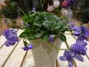 秋から春にかけて長く楽しませてくれます♪パルマスミレ ニオイスミレ(八重咲き) 3.5号鉢...