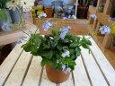 春にかけて長く楽しませてくれます♪大輪忘れな草(ワスレナグサ) ミオソティス ミオマルク...