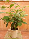 シトラール効果♪レモンマートル4号鉢大きく育てて自分流のガーデニングに仕上げて下さい♪植え替え・寄せかご・寄せ植えなどに♪
