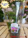 オーシャンブルー3.5号苗自分流のガーデニングに仕上げて下さい♪宿根草・房咲き・終日咲きです♪