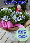 【送料無料】秋の代表花のリンドウ(りんどう)心美白寿【籐カゴタイプ】オシャレ仕上げ♪ギフトやご家庭にも♪