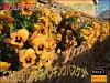 オレンジ系の花で仕上げています。癒し空間One'sGardenのおまかせビオラのハンギングバスケット(空中寄せ植え)秋から春バージョン♪未完成品です【送料無料商品です】