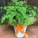 アジアンタム フラグランス♪ふわふわ可愛い葉♪シンプルの籐カゴ(バスケット入り)タイプのお得セット価 ...