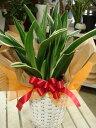 長寿草として愛され親しまれています♪ちょっとしたお祝い・プレゼントなどに♪【送料無料】ス...