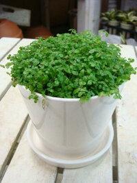 スタイリッシュな観葉植物♪4色の鉢から選べる世界一小さいお花が咲きます♪ベビーティアーズ・グリーン(天使の涙)♪
