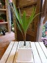 金運アップのトックリヤシ(徳利椰子・ボトルパーム)スタイリッシュな観葉植物ホワイトインテリア陶器鉢植え 受け皿付き♪オシャレ仕上げ♪モダン風アジアンテイスト♪楽ギフ_包装 楽ギフ_メッセ入力