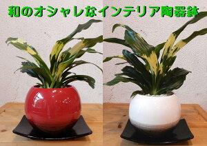 万年青(オモト)宝船♪和のオシャレインテリア陶器鉢♪鉢カラーをお選びください♪スタイリッシュな観葉植物♪お祝い事に♪引越し祝いなどに♪Sサイズ【楽ギフ_包装】【楽ギフ_メッセ