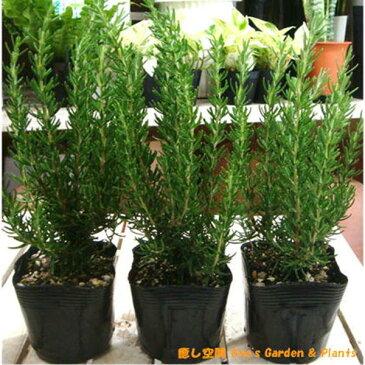 立ち性ローズマリー 3株お買い得セット販売 苗木立派に育ててシンボルハーブに♪大きく育てて自分流のガーデニングに仕上げて下さい♪植え替え・寄せかご・寄せ植えなどに♪