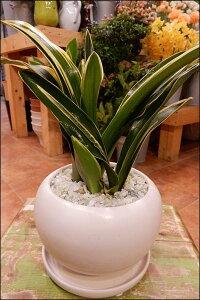万年青(オモト)甲竜(こうりゅう)♪和風の和み♪テーブルサイズ(S-サイズ)インテリア陶器鉢植え 受け皿付きスタイリッシュな観葉植物♪お祝い事に♪引越し祝い、新築祝いなどに♪