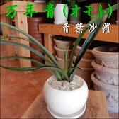 万年青(オモト)青葉沙羅♪和風の和み♪テーブルサイズ(S-サイズ)スタイリッシュな観葉植物♪お祝い事に♪引っ越し祝い、新築祝いなどに♪【楽ギフ_包装】【楽ギフ_メッセ入力】