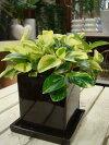 ペペロミアグラベラ♪インテリアグリーンに♪【ツヤ有り・受け皿付き・陶器鉢】