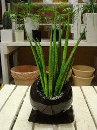 サンスベリア バキュラリス インテリアまん丸型陶器鉢