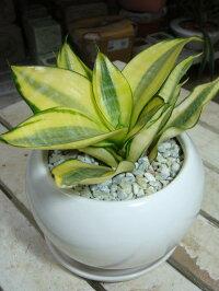 【ミニ観葉植物】サンスベリア ゴールデンハニー【受け皿付き・陶器鉢】