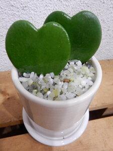ラブラブハート(ハートホヤ)♪ラブリー♪スタイリッシュな観葉植物♪円柱ストレートインテリア陶器…