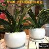 万年青(オモト)有田2鉢セット販売♪和風の和み♪テーブルサイズ(S-サイズ)インテリア陶器鉢植え受け皿付き弊社植え替え済みお祝い事に♪引越し祝い、新築祝いなどに♪引っ越しはオモトを最初に♪日本文化を【楽ギフ_メッセ入力】送料無料
