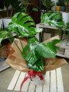 【楽ギフ_包装】【楽ギフ_メッセ入力】【送料無料】スタイリッシュな観葉植物♪室内の空間を和ます♪モンステラの切れ込みがオシャレ♪籐カゴ(バスケット入り)付き♪モダン風アジアンテイスト♪