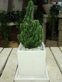 人気のセレウス電磁波吸収サボテン【セレウスベルヴィアヌス 】ミニ観葉植物サイズ♪モダン風アジアンテイスト♪