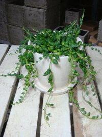 スタイリッシュな観葉植物♪4色の鉢から選べる♪グリーンネックレス♪つぶつぶ感が可愛い♪