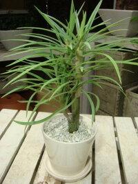 スタイリッシュな観葉植物♪4色の鉢から選べる♪モンキーツリー♪お猿さんが登るかも?♪