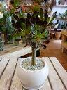 黒法師 クロホウシ(サンシモン)ホワイトインテリア陶器鉢 受け皿付きスタイリッシュな観葉植物♪オシャ ...