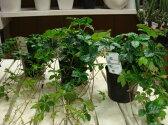シッサスシュガーバイン 3号ポット苗 3苗お買い得セット販売 自分流の室内空間に植え替えして仕上げて下さい♪アジアンチックやモダン風・トロピカル風のインテリア寄せ植えなどにも♪インテリアに人気の観葉植物