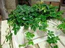 パーセノシッサスシュガーバイン♪スタイリッシュな観葉植物♪ロング鉢♪場所取らずでちょこっと置くだけ♪...