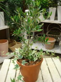 オリーブの木を育てたいお客様に♪プレゼントにも♪シンプル寄せ植え仕立て♪コンテナガーデン テラコッタ陶器鉢植え 記念樹に♪【楽ギフ_包装】【楽ギフ_メッセ入力】【SOUJU/創樹】