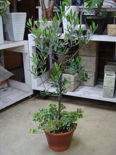 玄関が華やかにオリーブの木&ヘデラ(アイビー)の寄せ植え♪コンテナガーデンテラコ...
