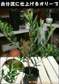 オリーブの木 3.5号ポット(苗) ピンチ物(枝ぶりを良くする処理) 自分流のガーデニングに仕上げて下さい♪植え替え・寄せかご・寄せ植えなどに♪大きく育てて下さいネ♪【SOUJU/創樹】オリーブ 苗木