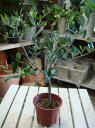 シンボルツリーの定番♪テラコッタなどに植えてお庭を飾ってみて下さい♪オリーブ 4号鉢 ピン...