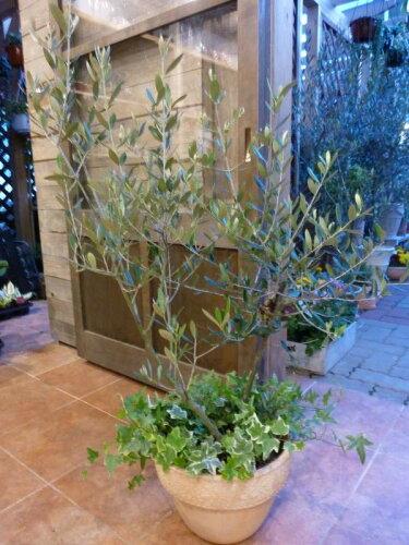 オリーブの木 品種違い2本寄せ植え Oli-me(オリーミー)オリー実 アイビーを垂らしてオシャレ...